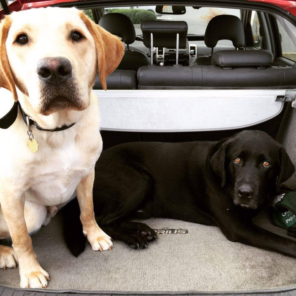 Two lab dogs