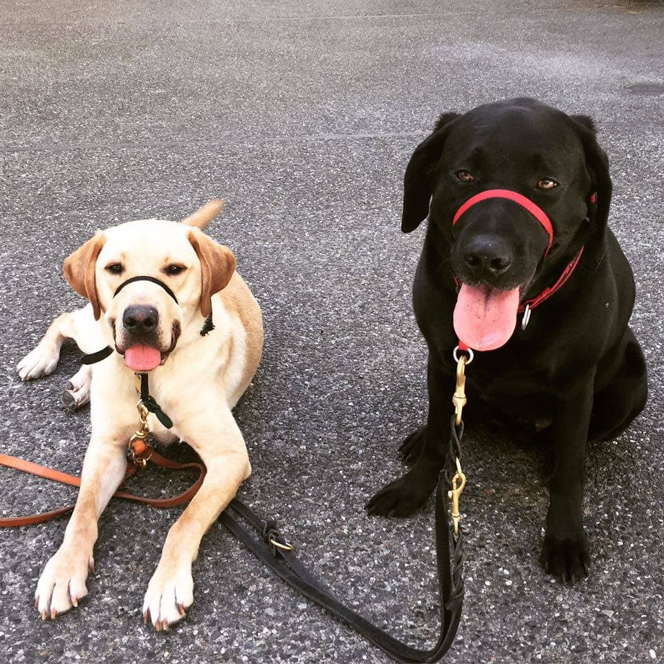 Two labs on leashes.