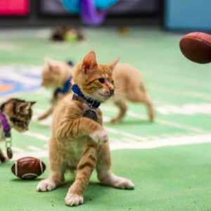 Get Ready for Kitten Bowl III