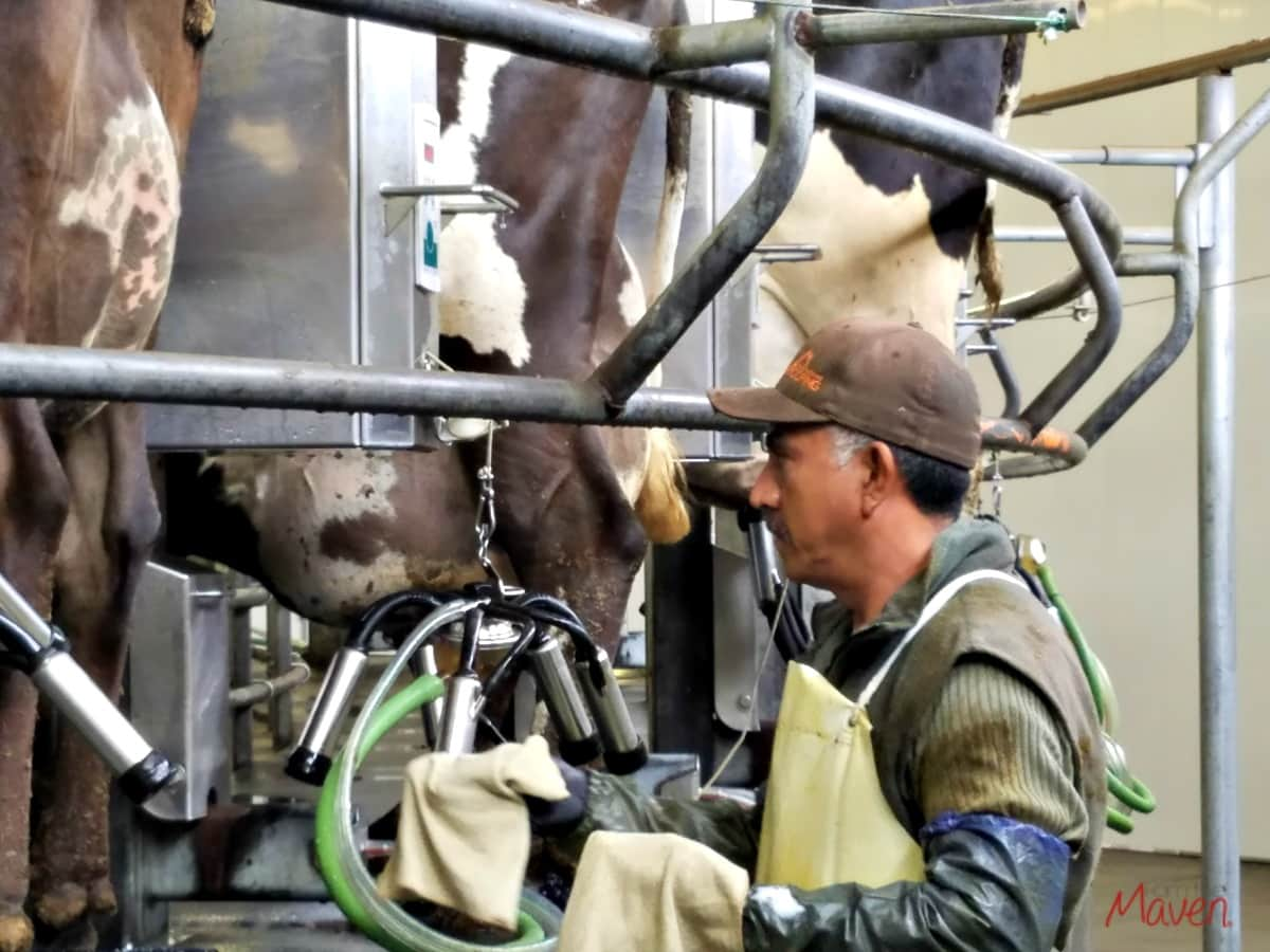 The milking parlor at Coldstream Farms