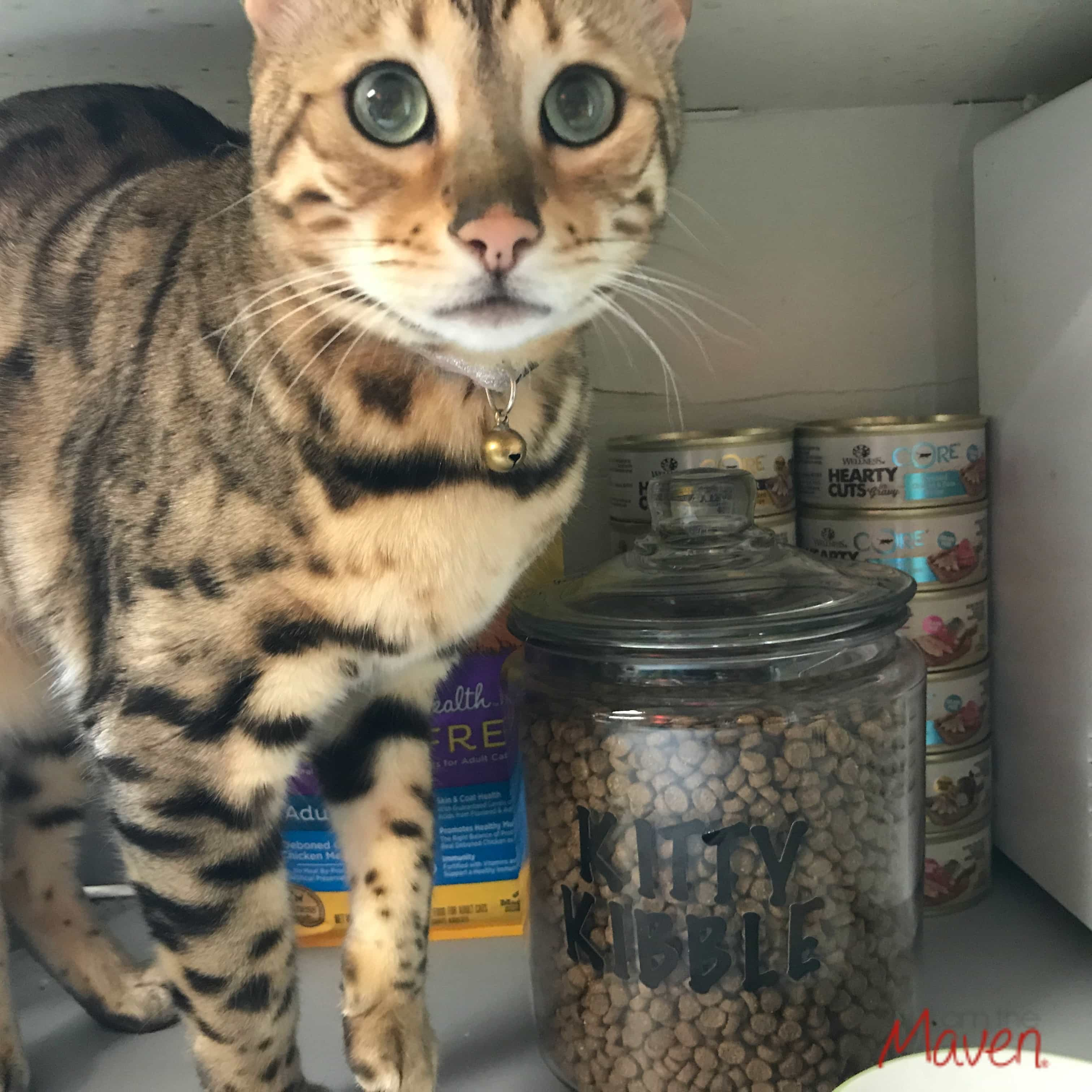 Bengal with cat food storage