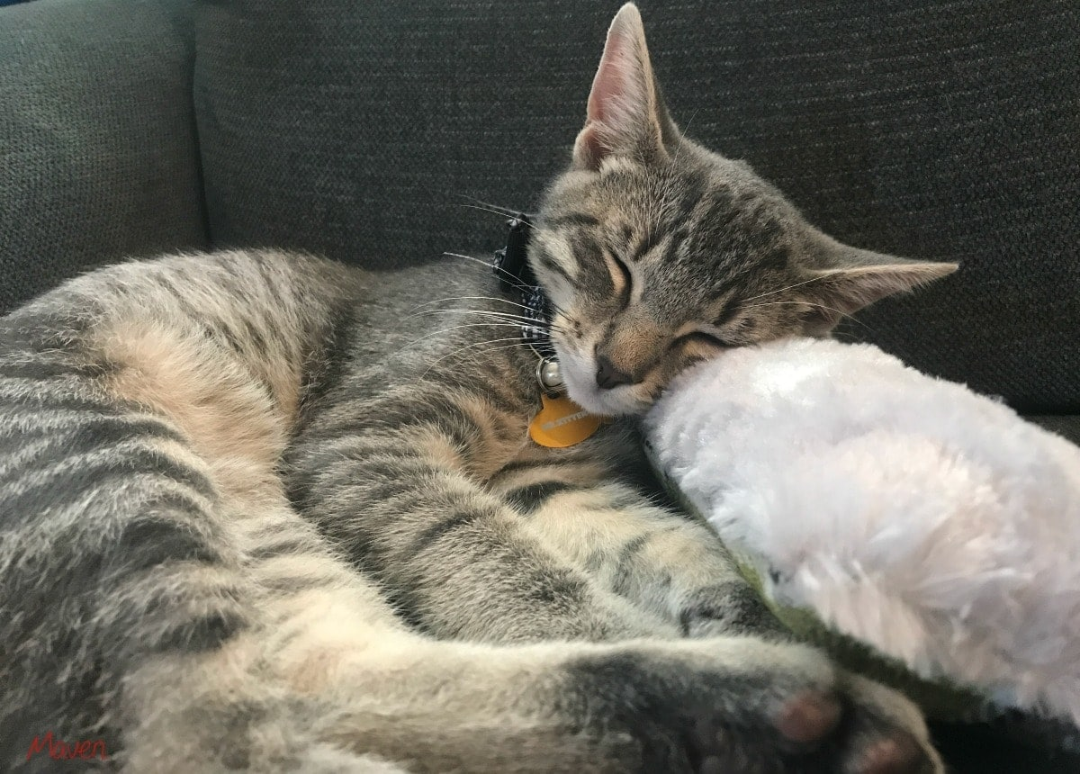 kitten and cat toy