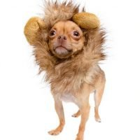 chihuahua in lion dog costume