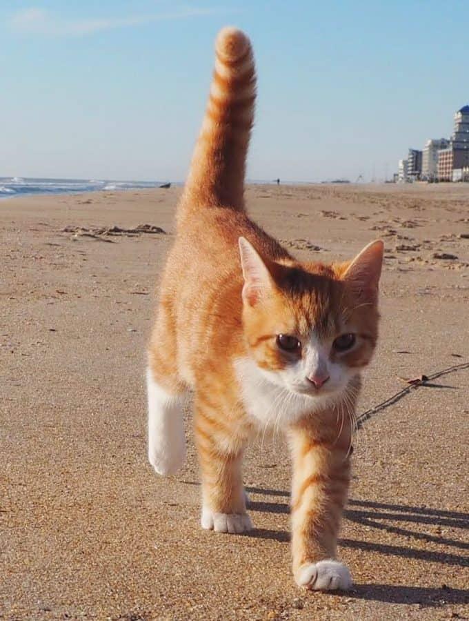 orange striped cat walking on the beach (Pip the Beach Cat)
