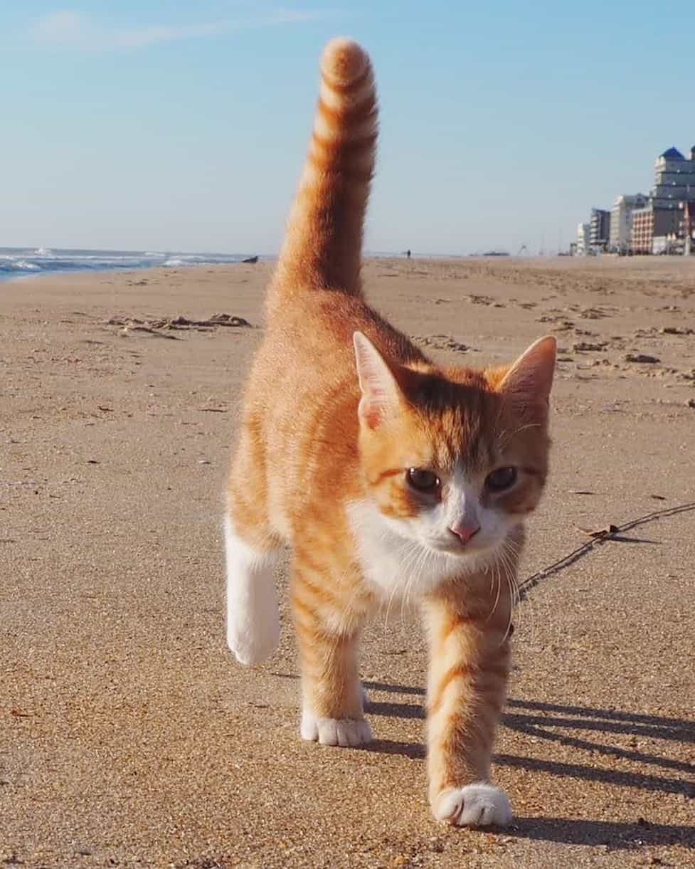 orange striped cat walking on the beach (Pip the Beach Cat)